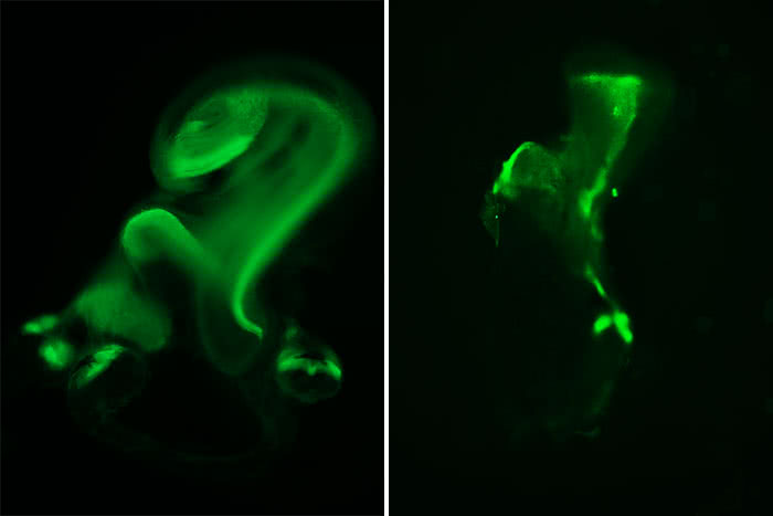 Inner ear structures of normal and mutant mice