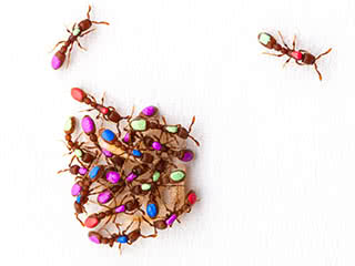Divison of labor: Above, individual members of a colony of clonal raider ants, Cerapachys biroi, have been tagged for behavioral studies. While some ants form a tight cluster and nurse the ant larvae, others leave the cluster to explore and forage.