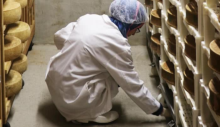 Say cheese: High school students in the Learning At the Bench program swab for microscopic organisms in storage caves where cheese is kept to mature. Microbes play a vital role in the texture and taste of cheese.