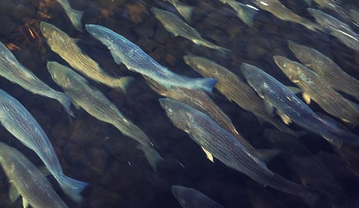 School of Striped Bass