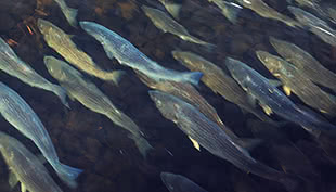 School of Striped Bass