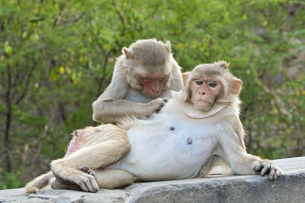Rhesus monkeys grooming