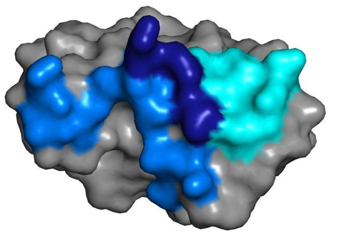 zika envelop protein domain structure