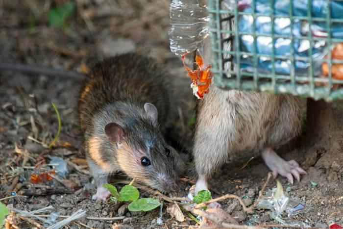 Rats HepC