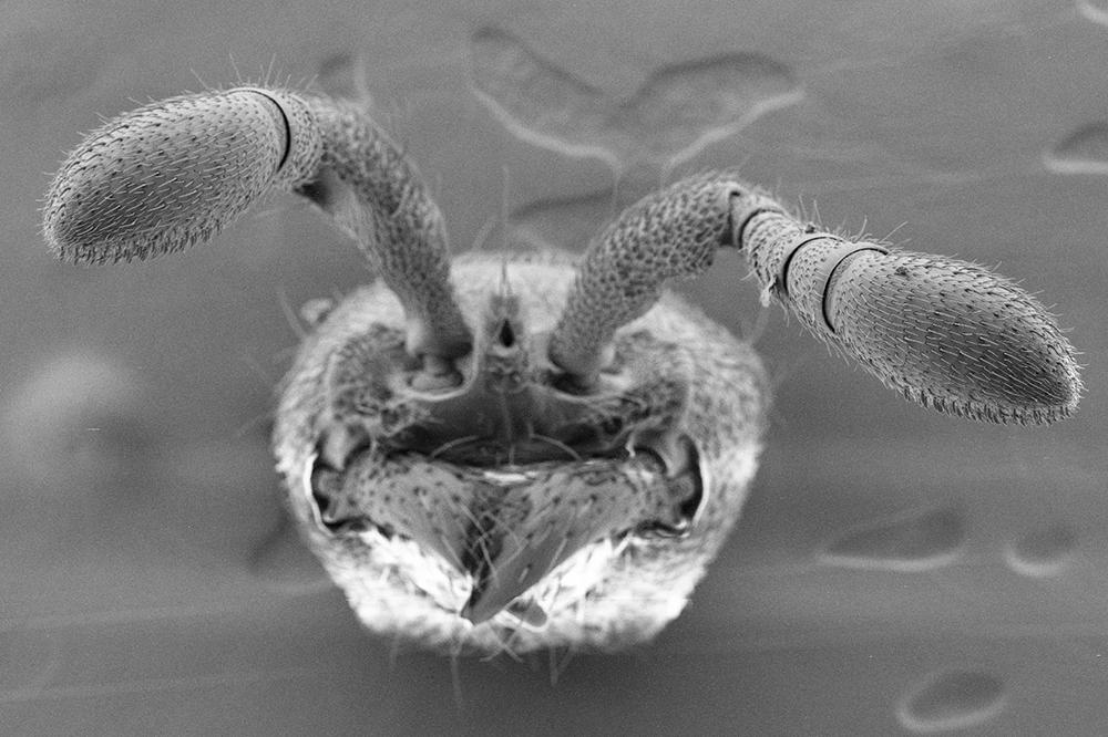 Ant antennae