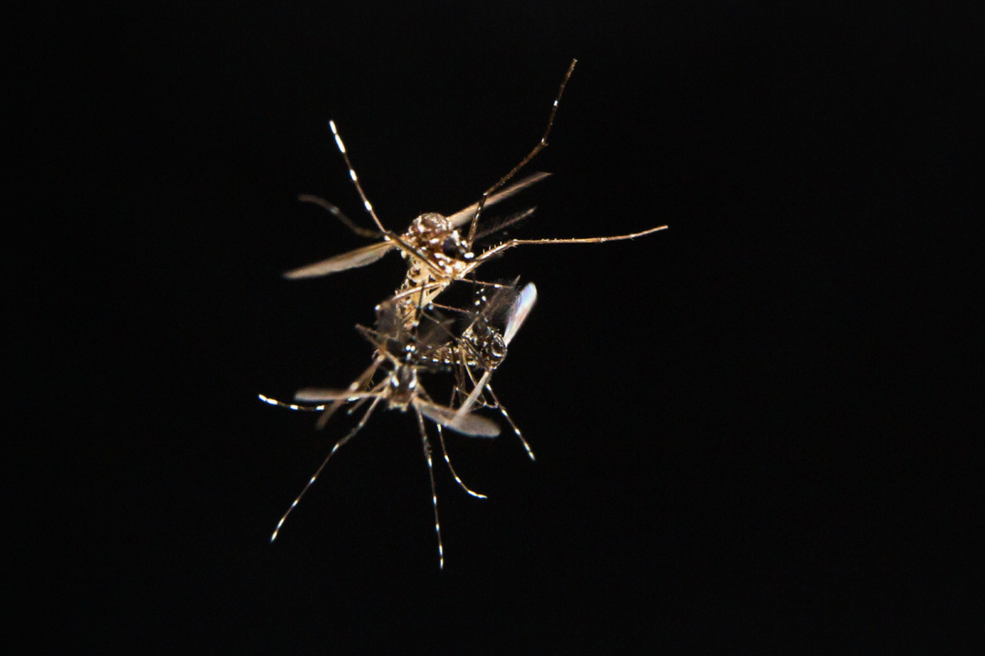 An Aedes aegypti