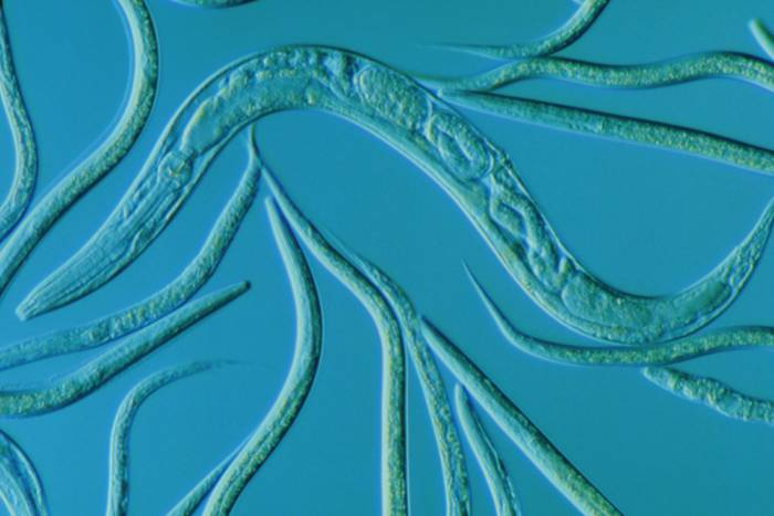 C elegans w