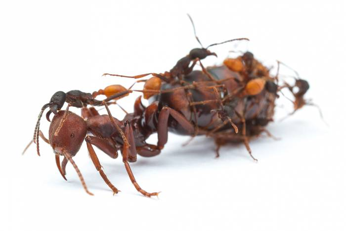 Clonal ants and big queen