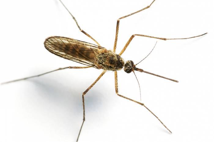 Mosquito image