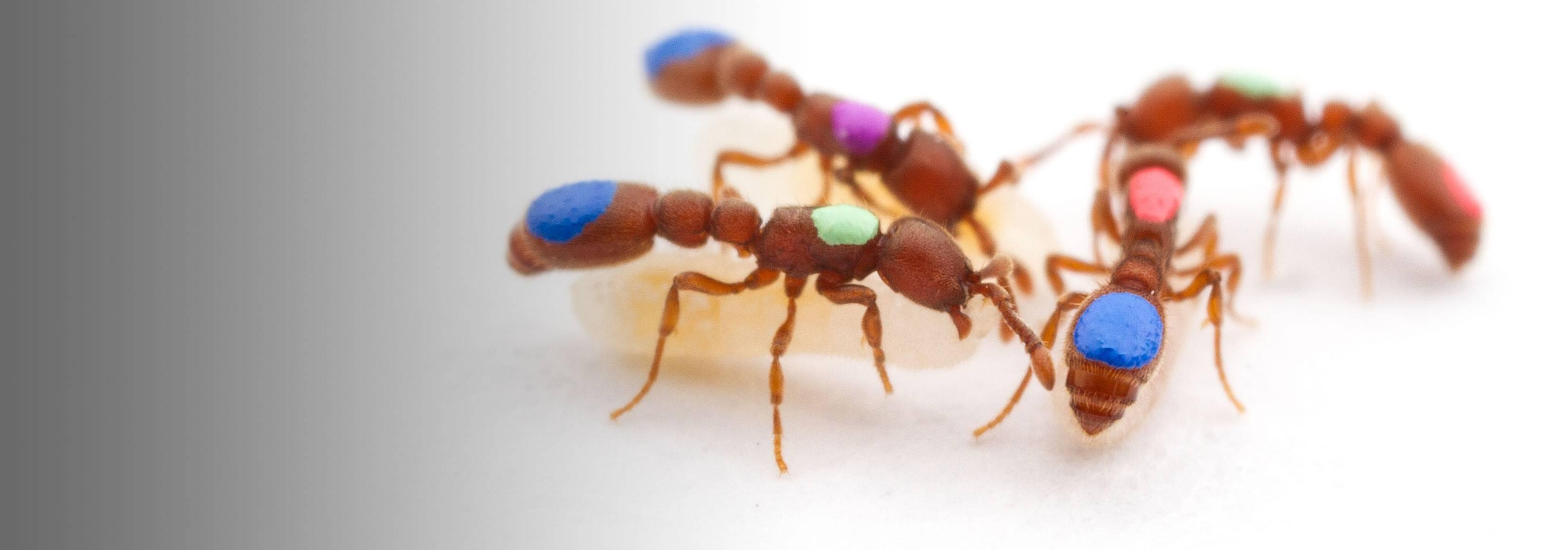 Clonal ants