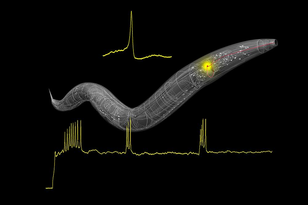C. elegans nervous system