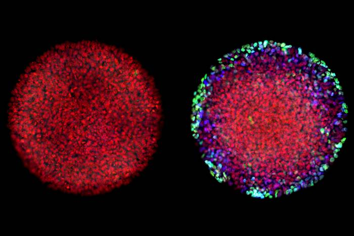 When lab-grown embryos were exposed to Activin alone, they failed to differentiate (left). Following exposure to both WNT and Activin, distinct cell types emerged (right).