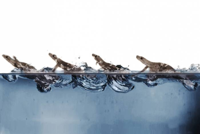Geckos move through water they slap their arms, generating air bubbles that help them stay afloat.