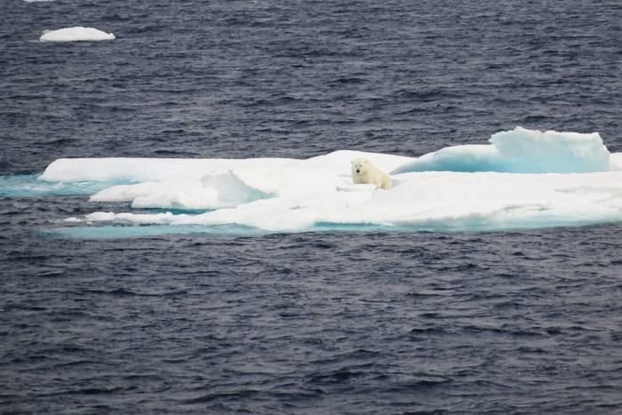 Polar bear photo by Barry S. Coller