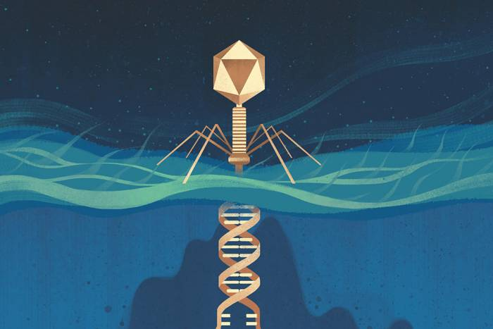 Bacteriophages inject their DNA into bacteria, typically resulting in the bacterium's demise. CRISPR-Cas systems defend bacteria against these attacks.