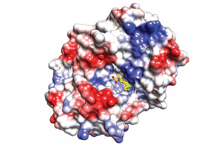 Newly-developed molecules bind to a key enzyme pocket to inhibit its activity, and possibly prevent autoimmune responses.