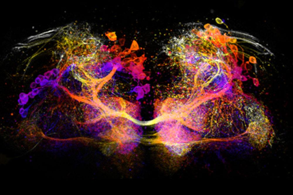 Dopamine neurons