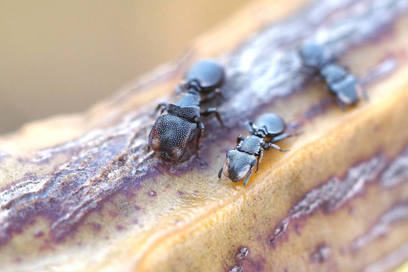 Turtle ants