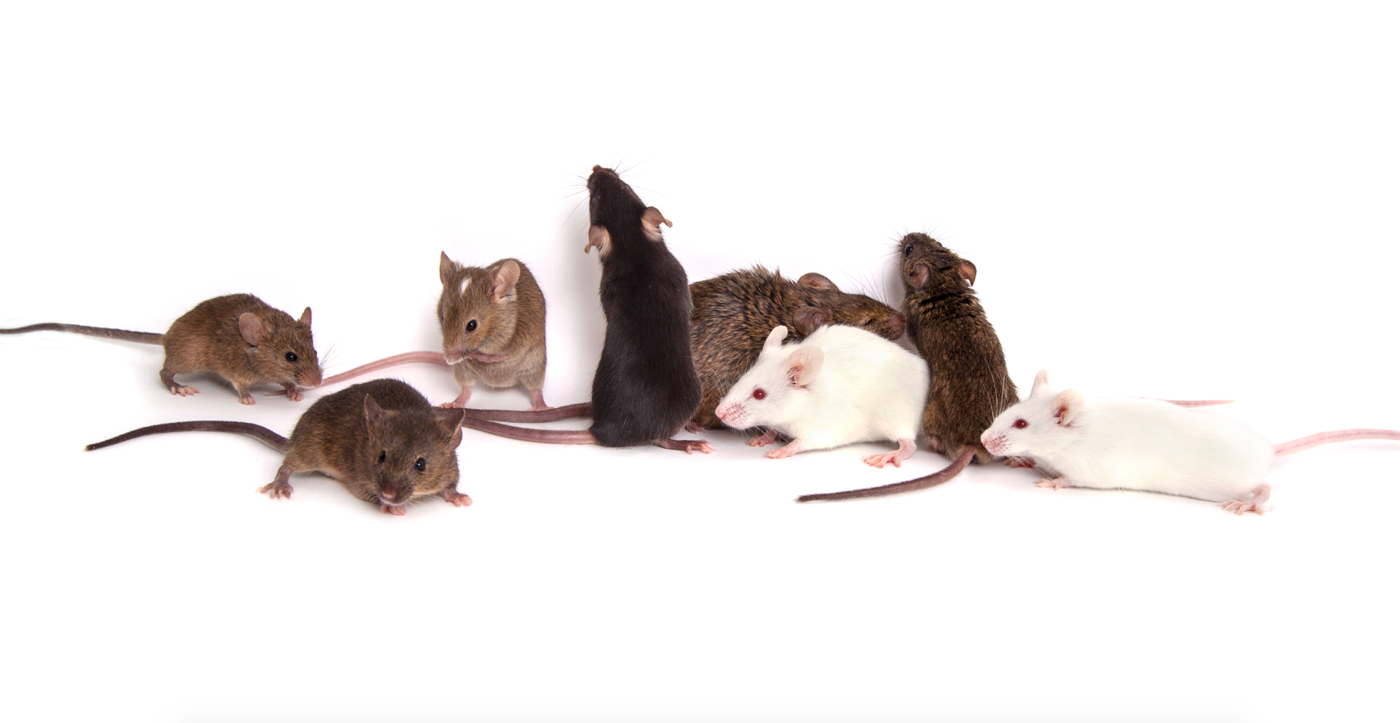 Genetically diverse mice