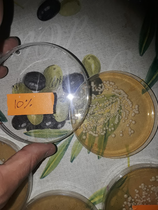 Experiment with yeast by an SSRP student.