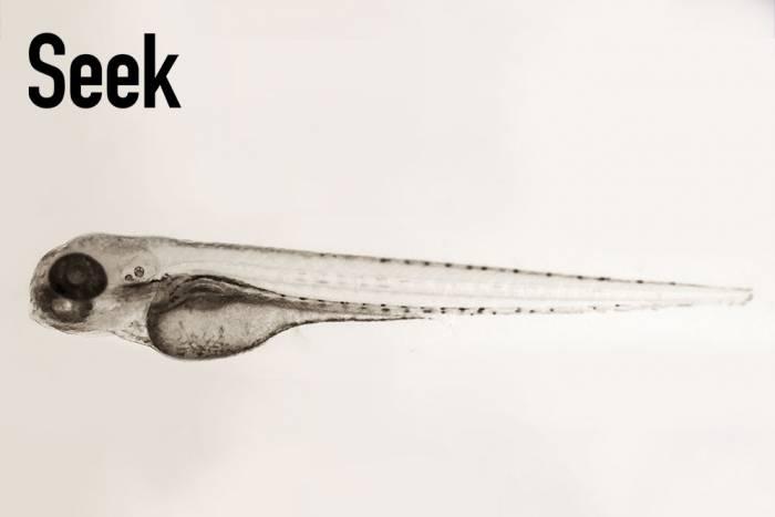 zebrafish image