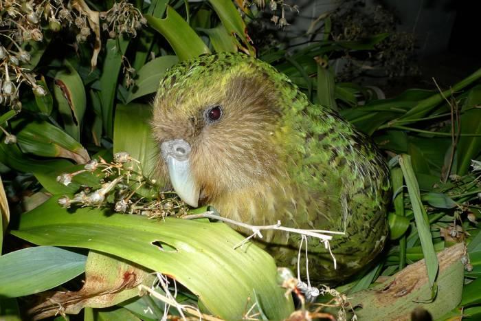 Kakapo_Sirocco