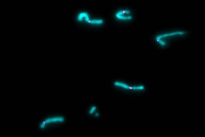 chromosomesseparated