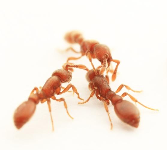 Kronauer clonal raider ants4