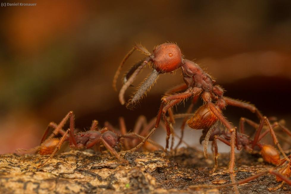 Kronauer lab website army ants Eciton mexicanum