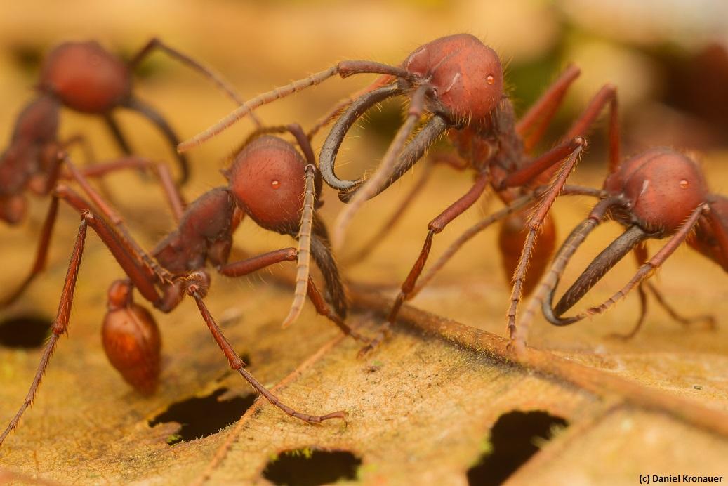 Kronauer lab website Eciton vagans army ants