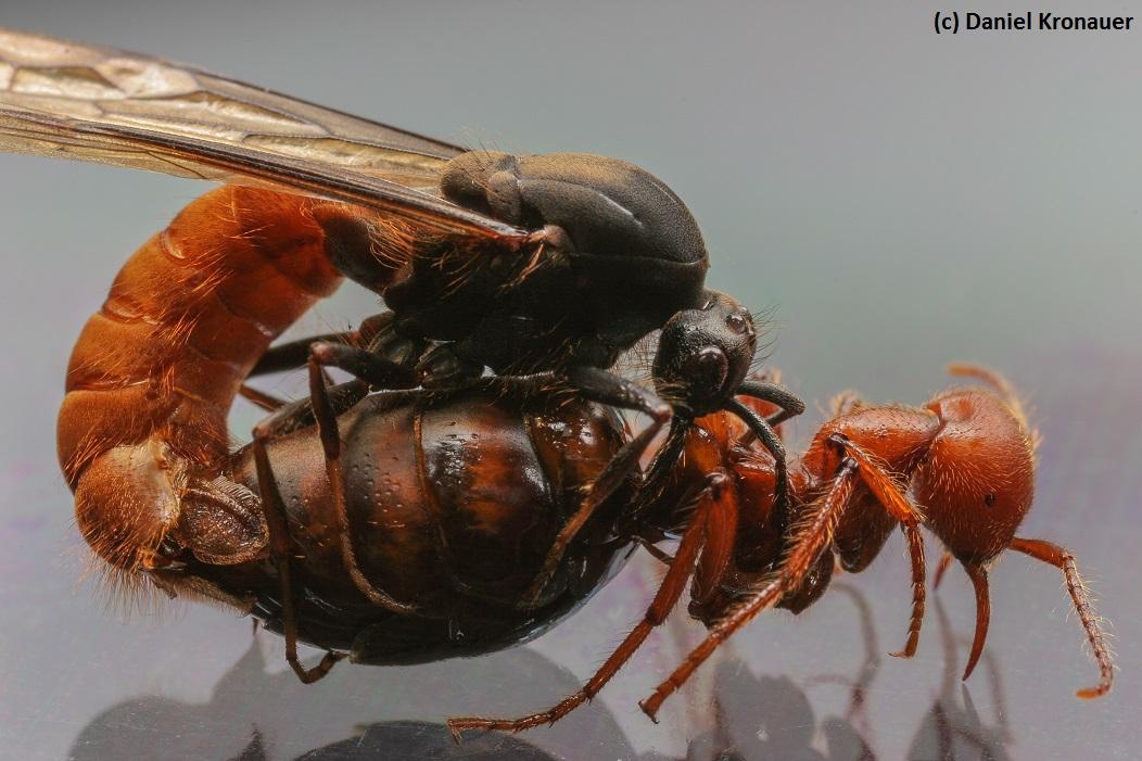Kronauer lab website Eciton burchellii army ants