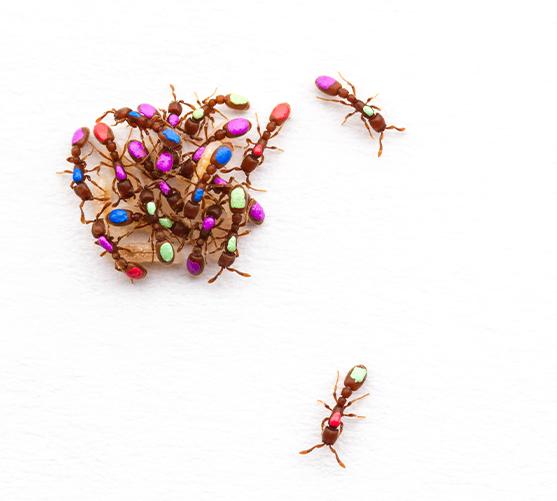Kronauer clonal raider ants 3