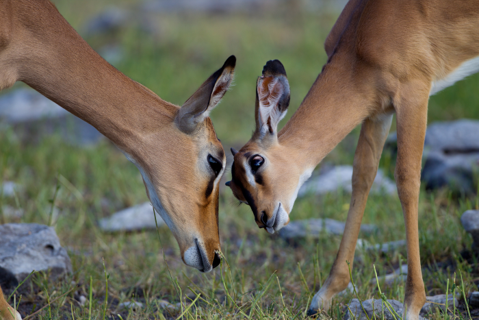Black-faced impala (Aepyceros melampus)