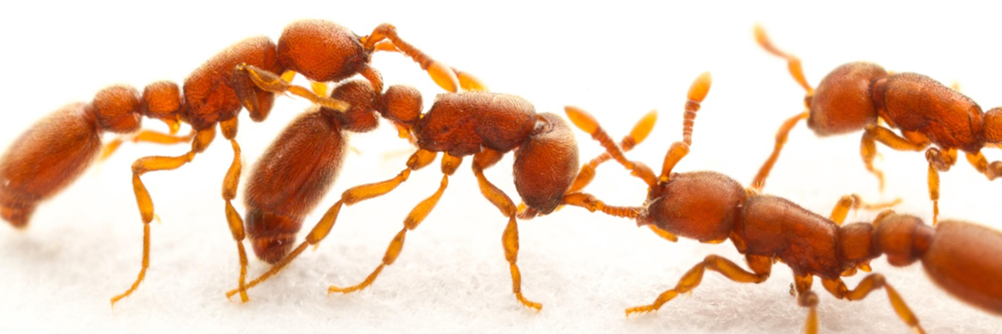 Clonal Ants Antennae
