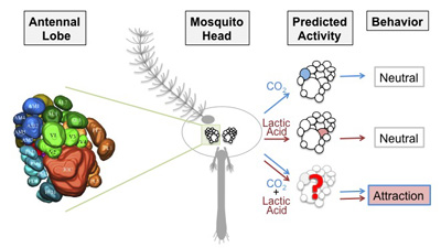 Models of multi-sensory integration in the antennal lobe of the female mosquito