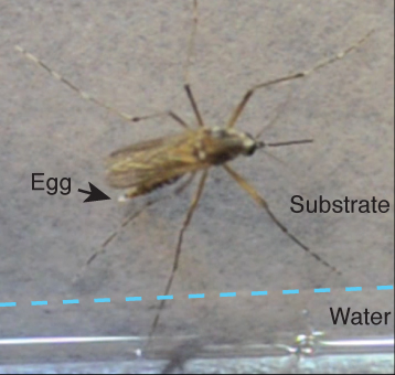 A female Aedes aegypti mosquito laying an egg immediately above the water line of a pool of standing water