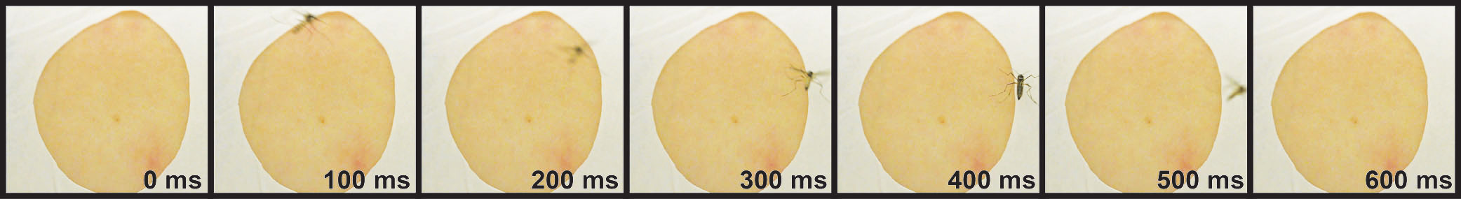 DEET contact chemorepellency: orco mutant mosquito lands on a DEET-treated arm at 400ms, but does not blood feed