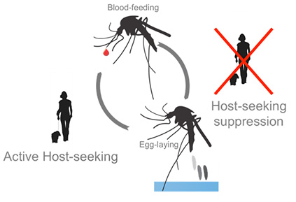 Cyclical suppression of mosquito host-seeking behavior by a blood meal