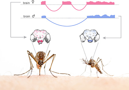 Sex-specific splicing of a representative gene and its expression pattern in male and female mosquito brains