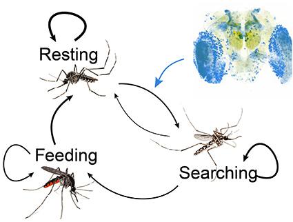 Mosquito host-seeking behavior