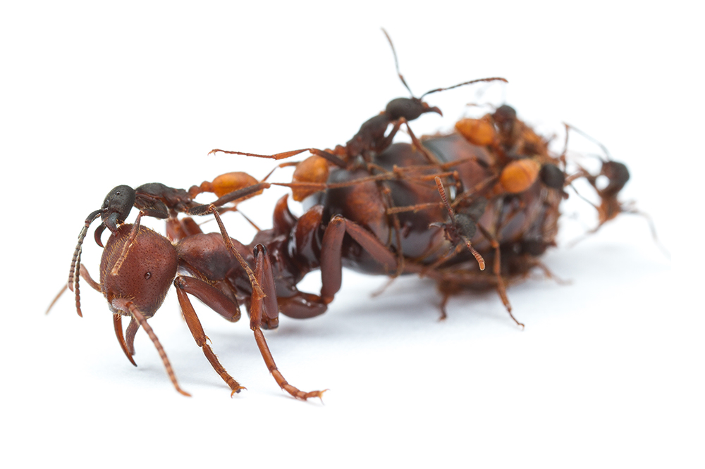 Eciton burchellii army ant queen and workers