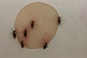 Mosquitoes feeding video