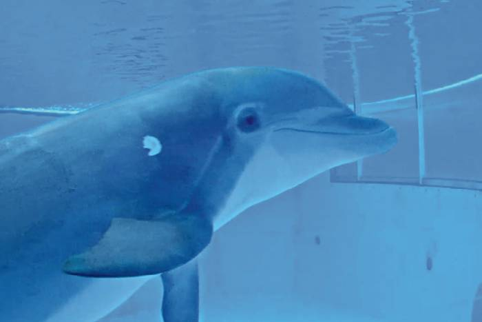 bottlenose dolphin interacting with an underwater touchscreen.