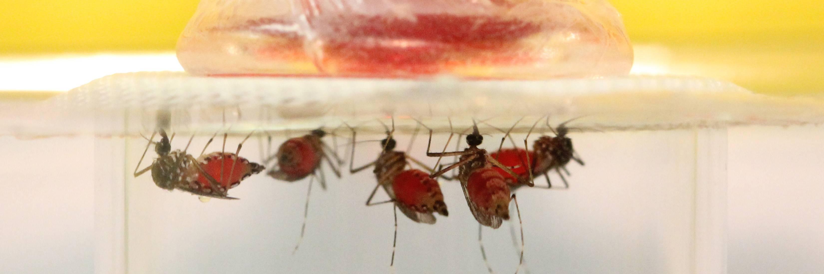 Aedes aegypti on a membrane feeder