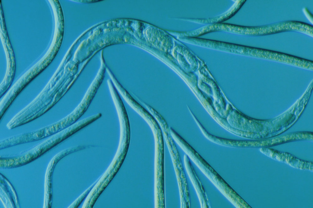 C elegans worms