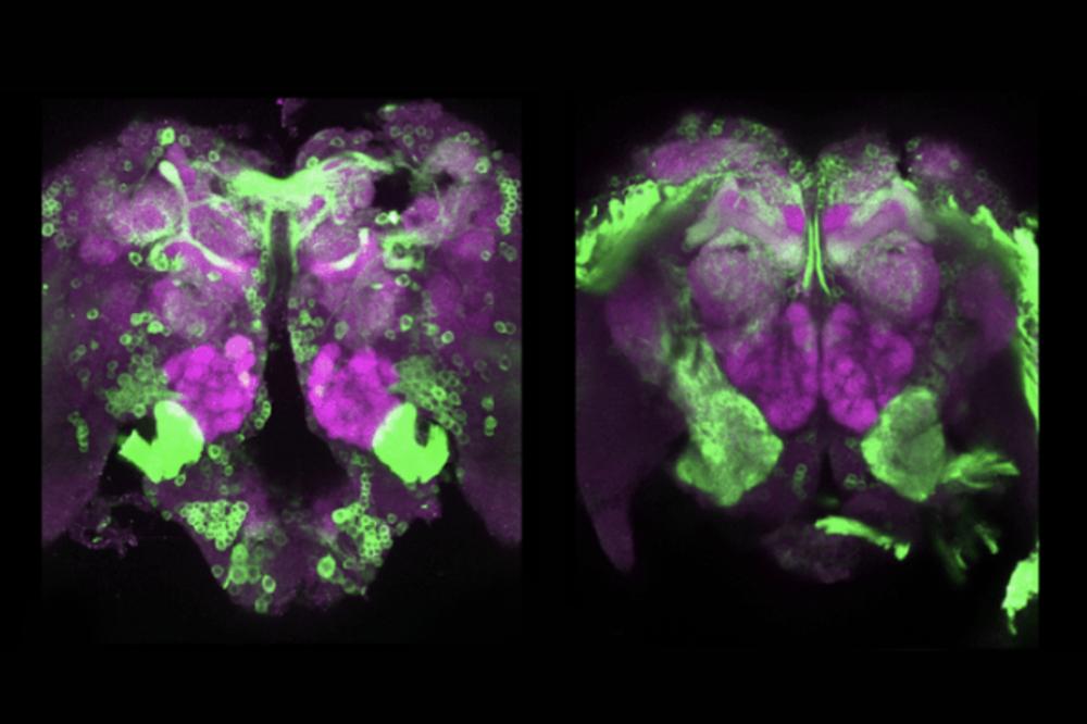 Mosquito brain scans