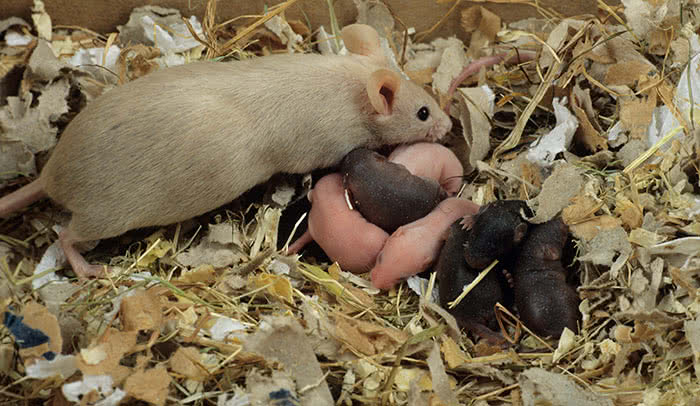 Mouse pups in a litter; autism