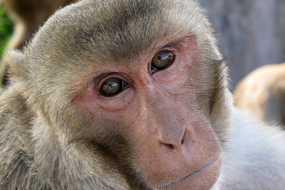 Researchers have discovered neural circuits in the brains of rhesus macaque monkeys that could represent a common origin for social communication, including human speech. (Photo by Stephen Shepherd)