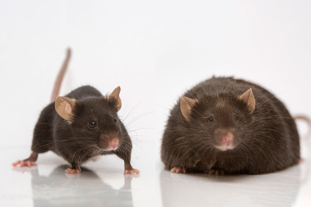 The mouse on the right lacks leptin, a hormone that curbs appetite.